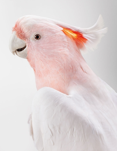 10-Matilda-Major-Mitchells-Cockatoo-406x524