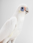 15-Little-Stevie-Little-Corella-406x524